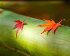 Photo closeup of a large green piece of bamboo laying horizontally with an orange maple leaf and red maple leaf resting upon it.
